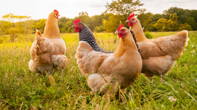 direct fed microbials for poultry